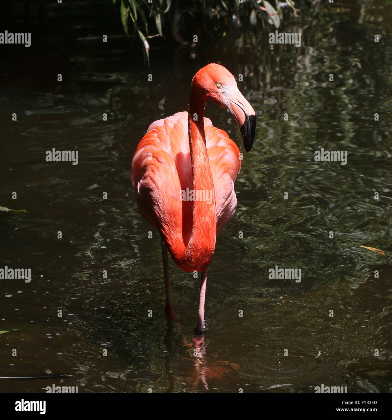 American or Caribbean flamingo (Phoenicopterus ruber) foraging in a stream, facing camera - Stock Image