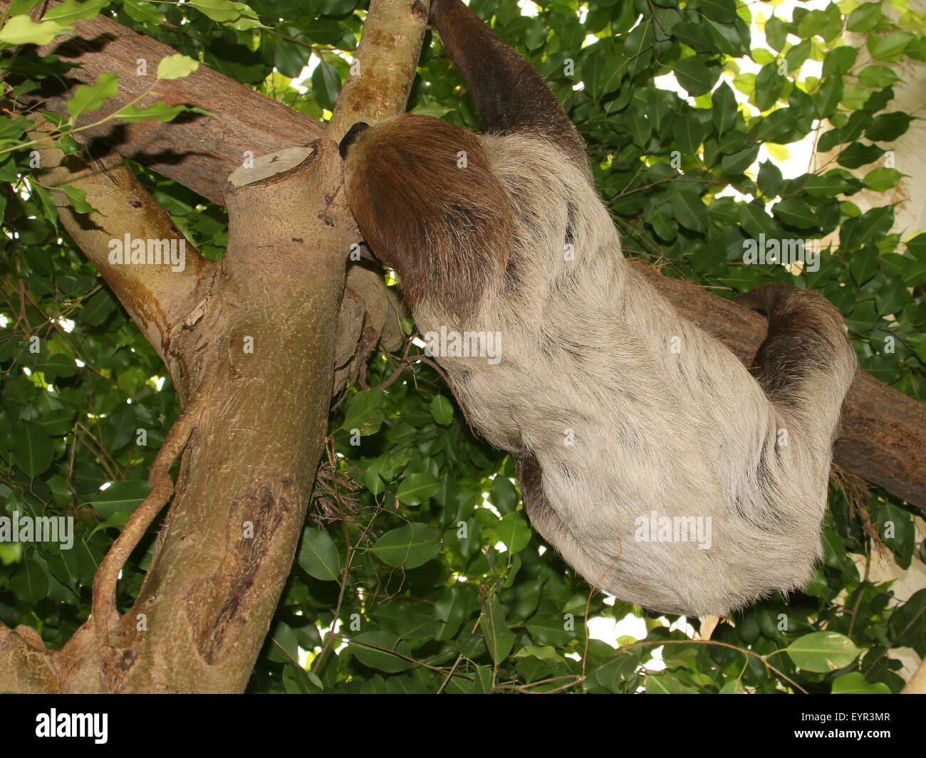 South American Linnaeus's two toed sloth or Southern two-toed sloth (Choloepus didactylus) Stock Photo