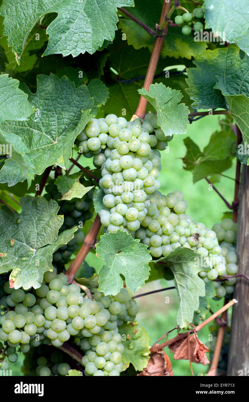 Weisser Riesling, Weisse Weintrauben, Wein, Weinpflanzen, Reben, Fruechte, Beeren, Obst,  - Stock Photo