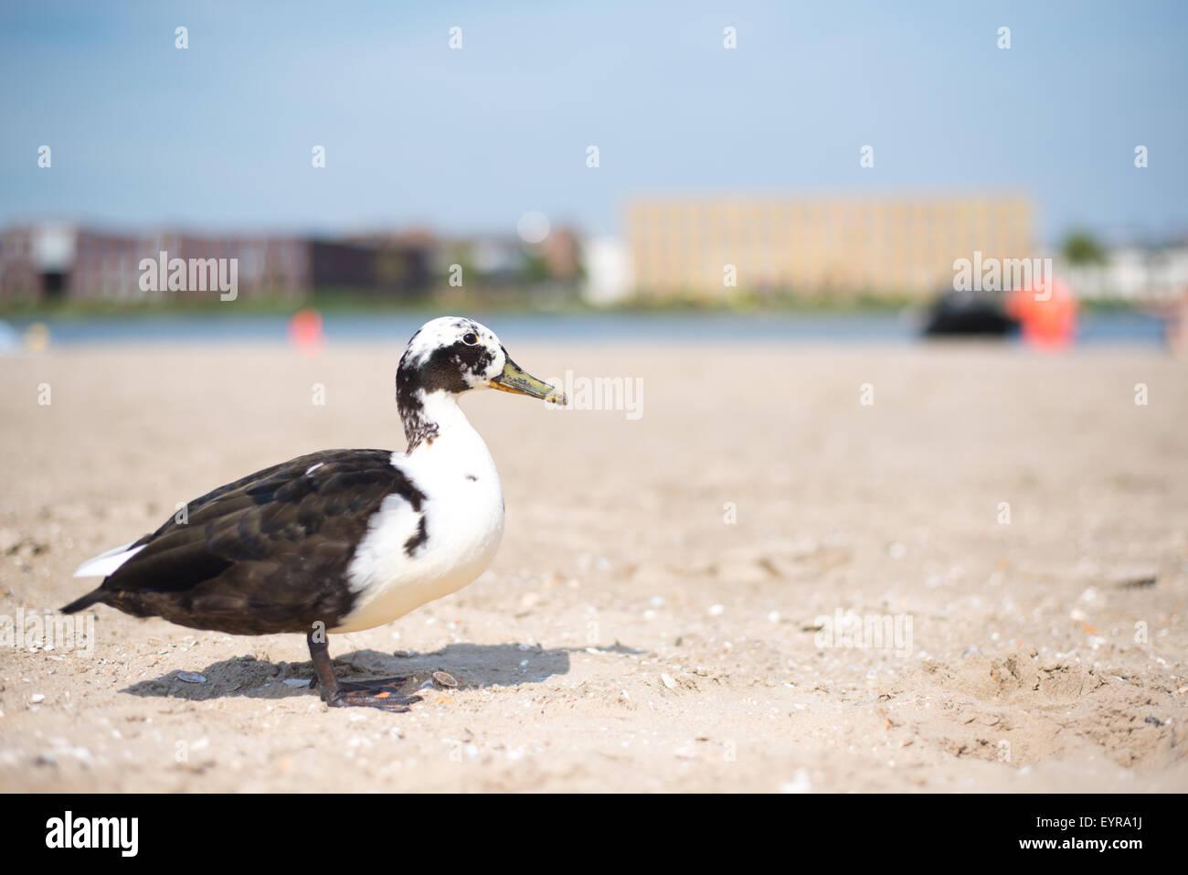 Black & White Ancona duck on a beach in Diemerpark city park