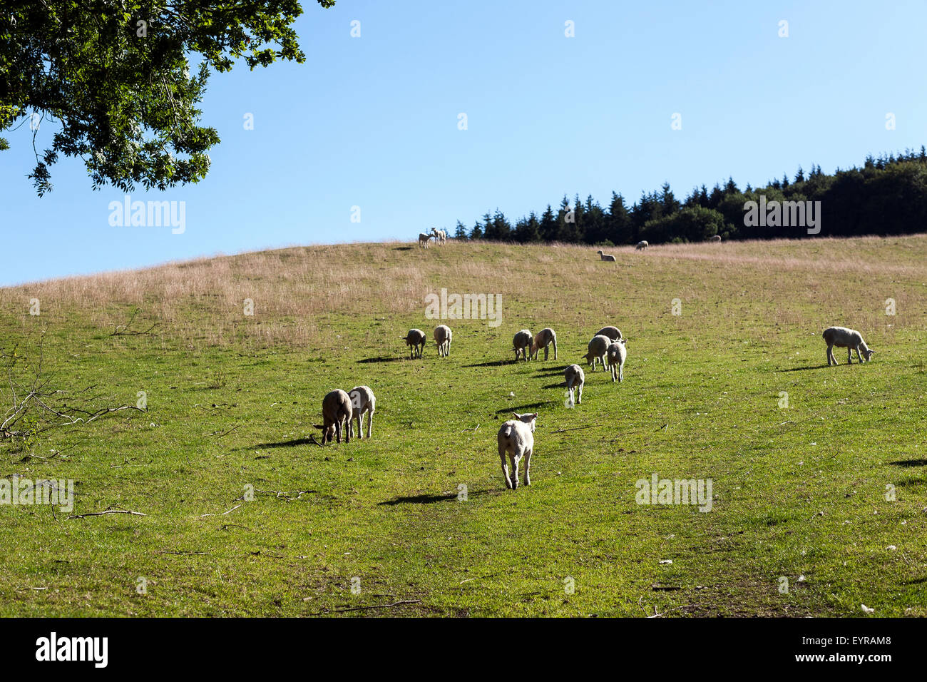 hill farming,devon, - Stock Image
