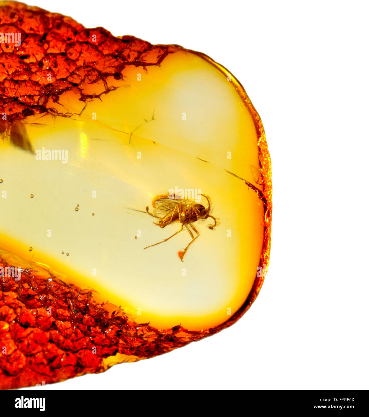 Prehistoric fly (c40-50m years old) preserved in Baltic amber from Kalingrad region, Russia. Insect 3-4mm long - Stock Image