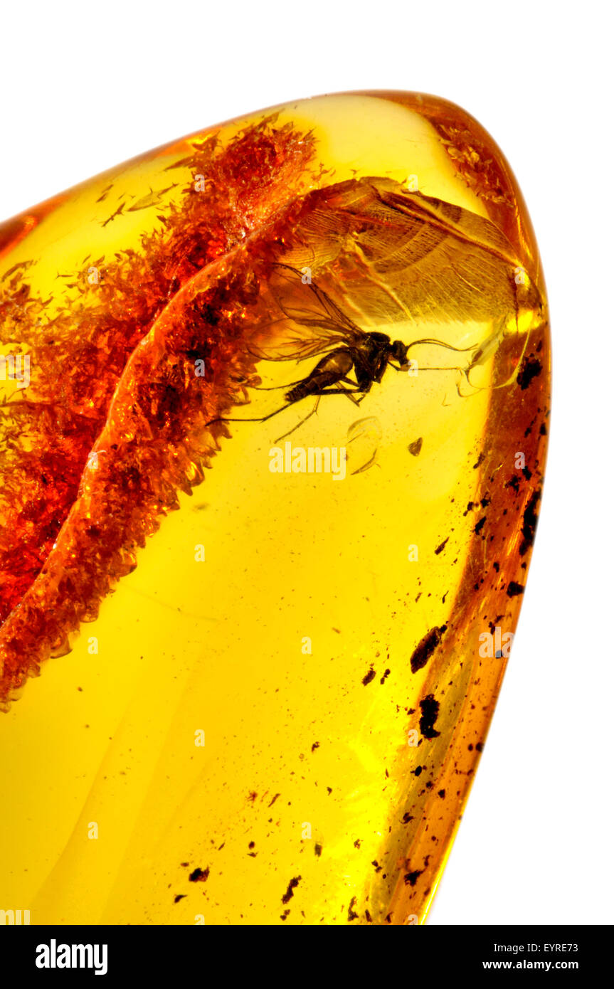 Prehistoric fly (c40-50m years old) preserved in Baltic amber from Kalingrad region, Russia. Insect 4-5mm long - Stock Image