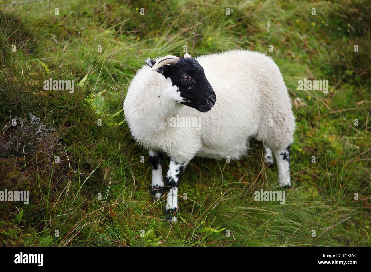 Scottish sheep - Stock Image