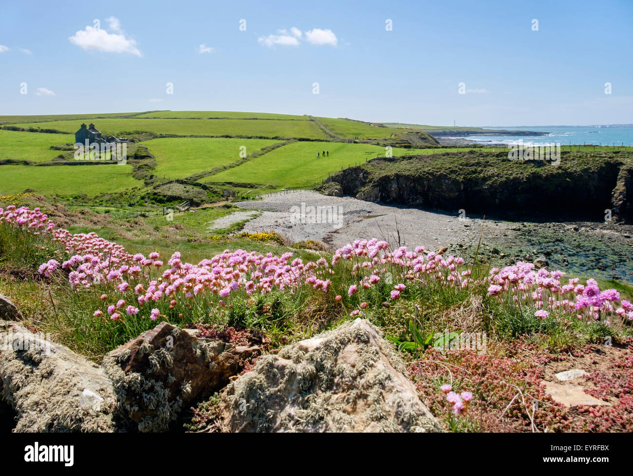 Sea Pink or Thrift (Armeria maritima) flowers growing beside coast path in early summer. Cable Bay Isle of Anglesey - Stock Image
