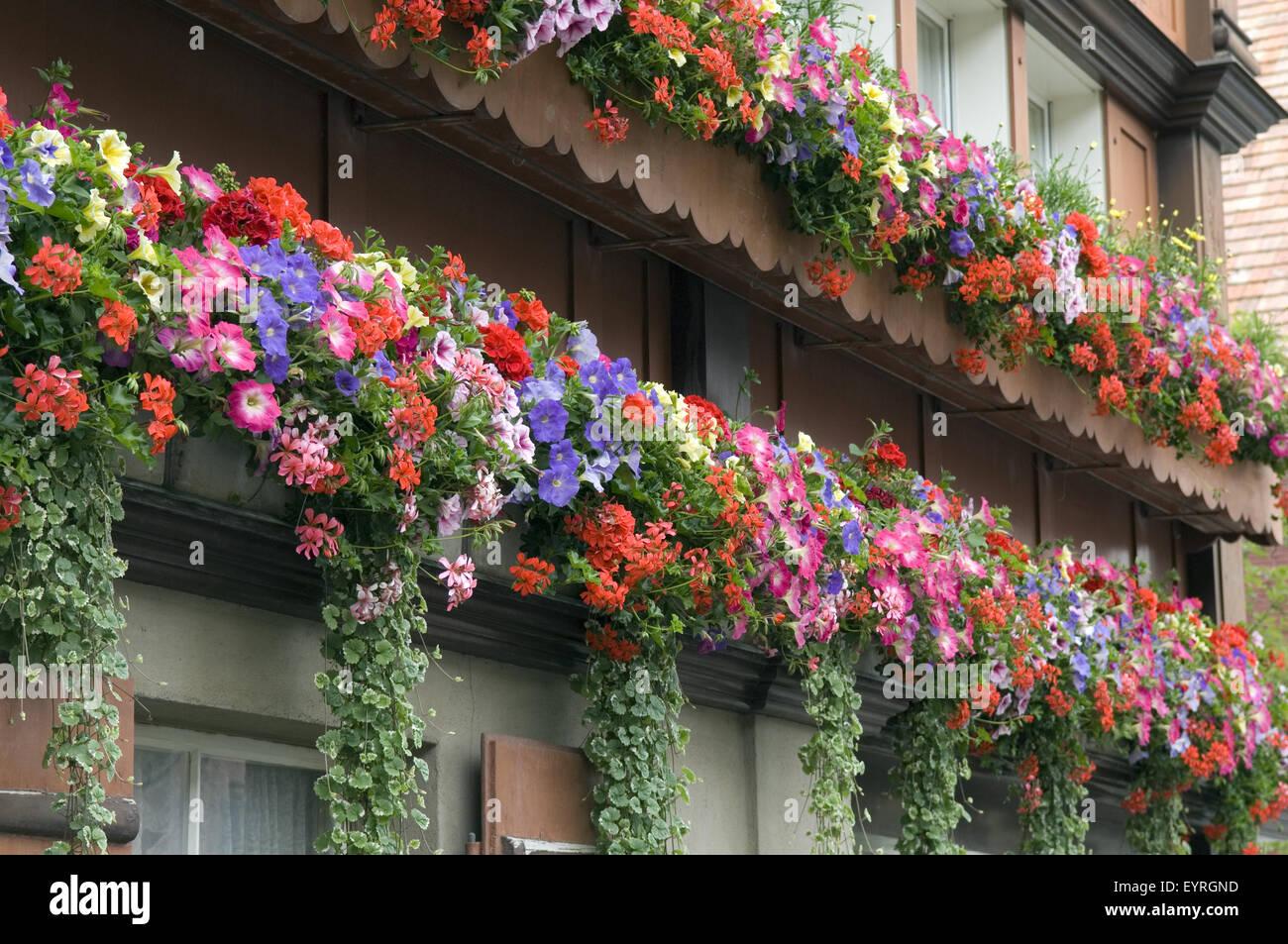 Balkonblumen Surfina Geranien Stock Photo 85955225 Alamy