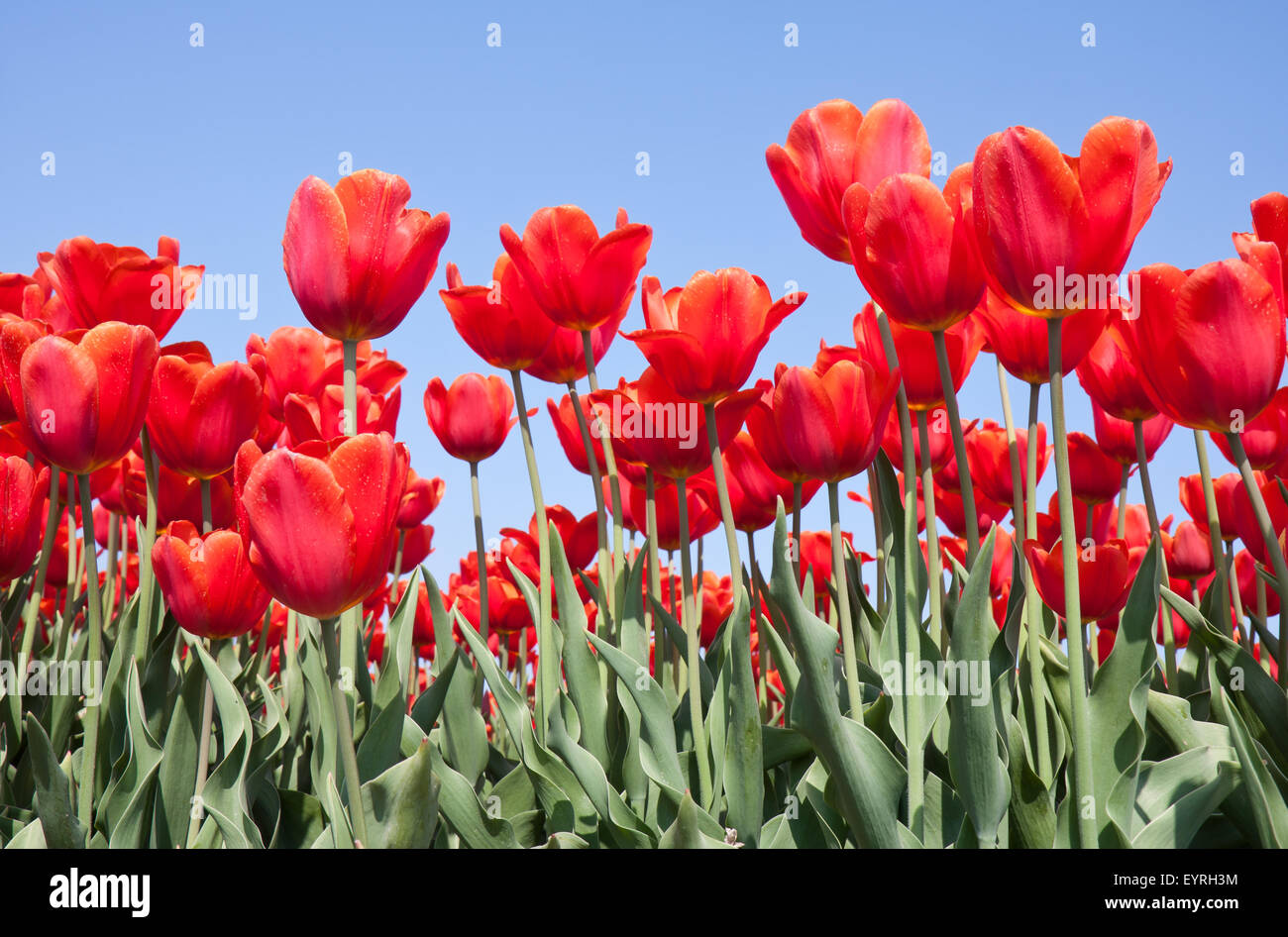 Greeting card from holland stock photos greeting card from holland red tulips from the netherlands stock image m4hsunfo