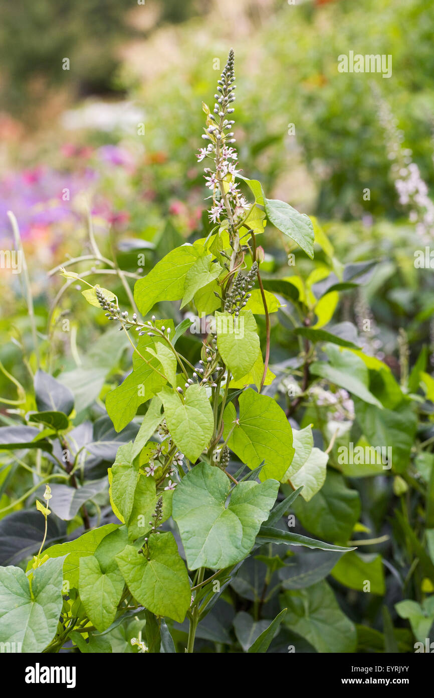 Bindweed growing through an herbaceous border. - Stock Image