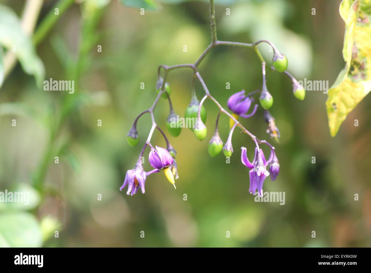 Purple Yellow Flower Nightshade Solanum Stock Photos Purple Yellow