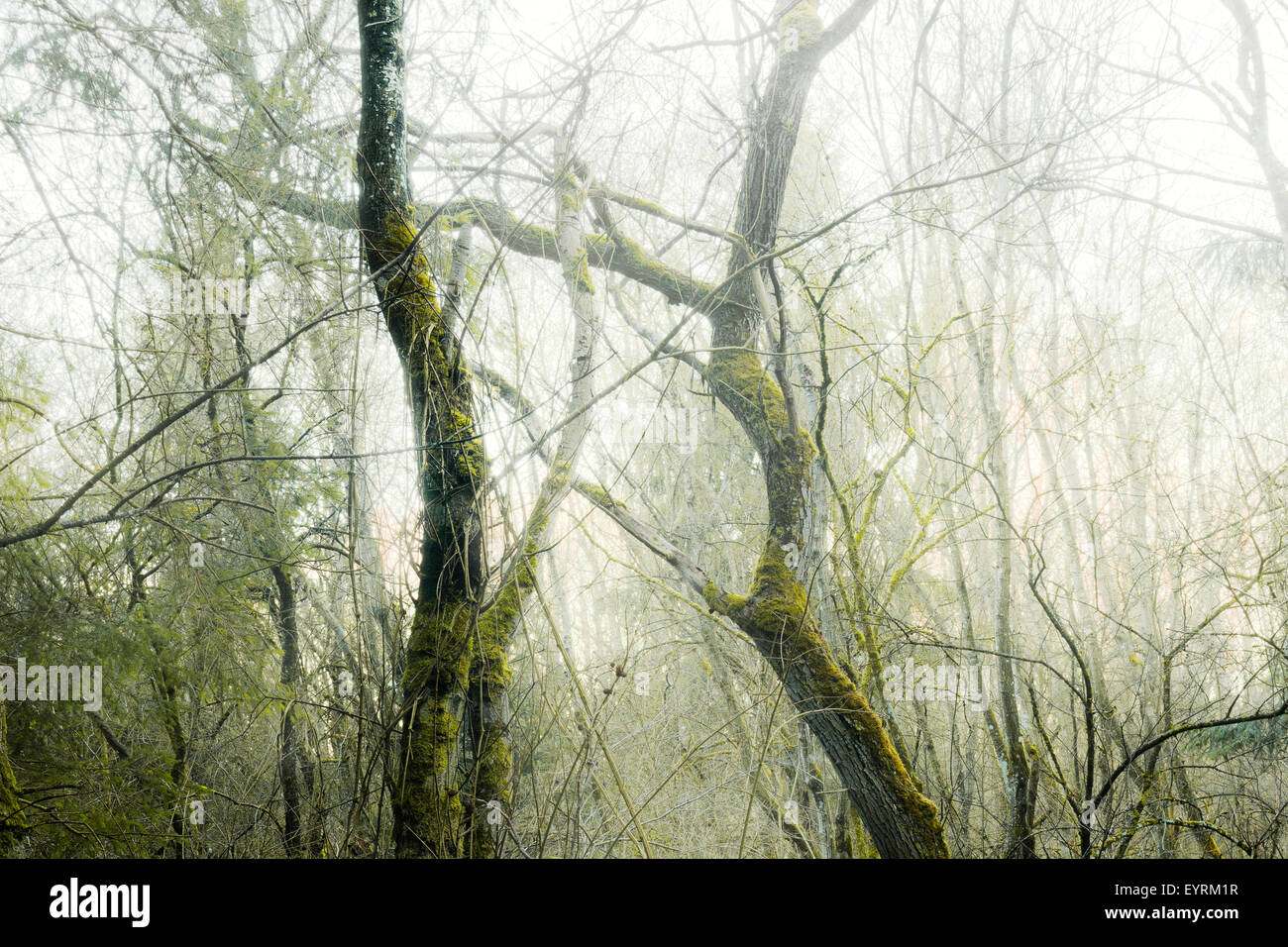 Wood, tree, moss, mystical, gloomy, green, morning, fog, old, creating, Germany, Bavaria - Stock Image
