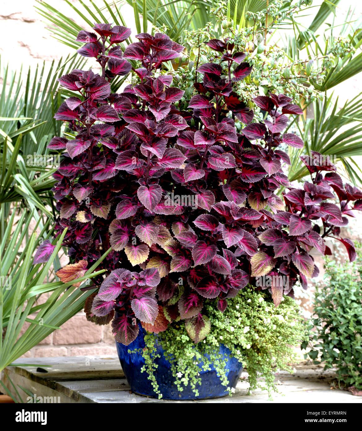 Buntnessel, Coleus, Balkonblumen, Blumen auf Terrasse Stock Photo