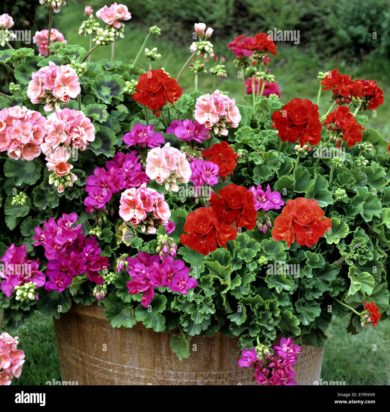 Blumenkuebel Geranien Pelargonium Pelargonie Balkonblumen