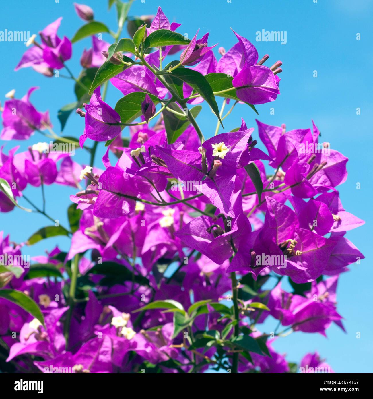 Bougainvillea; Glabra; Spectabilis; Stock Photo
