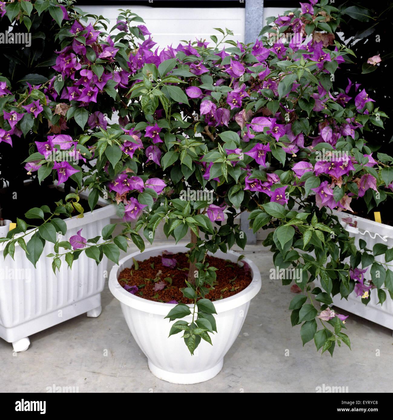 Bougainvillea glabra, Papierblume, Wunderblume Stock Photo