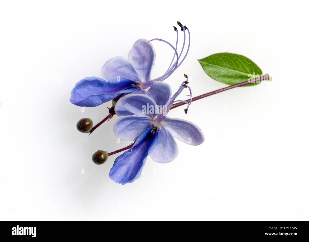 Clerodendrum fragrans Stock Photo