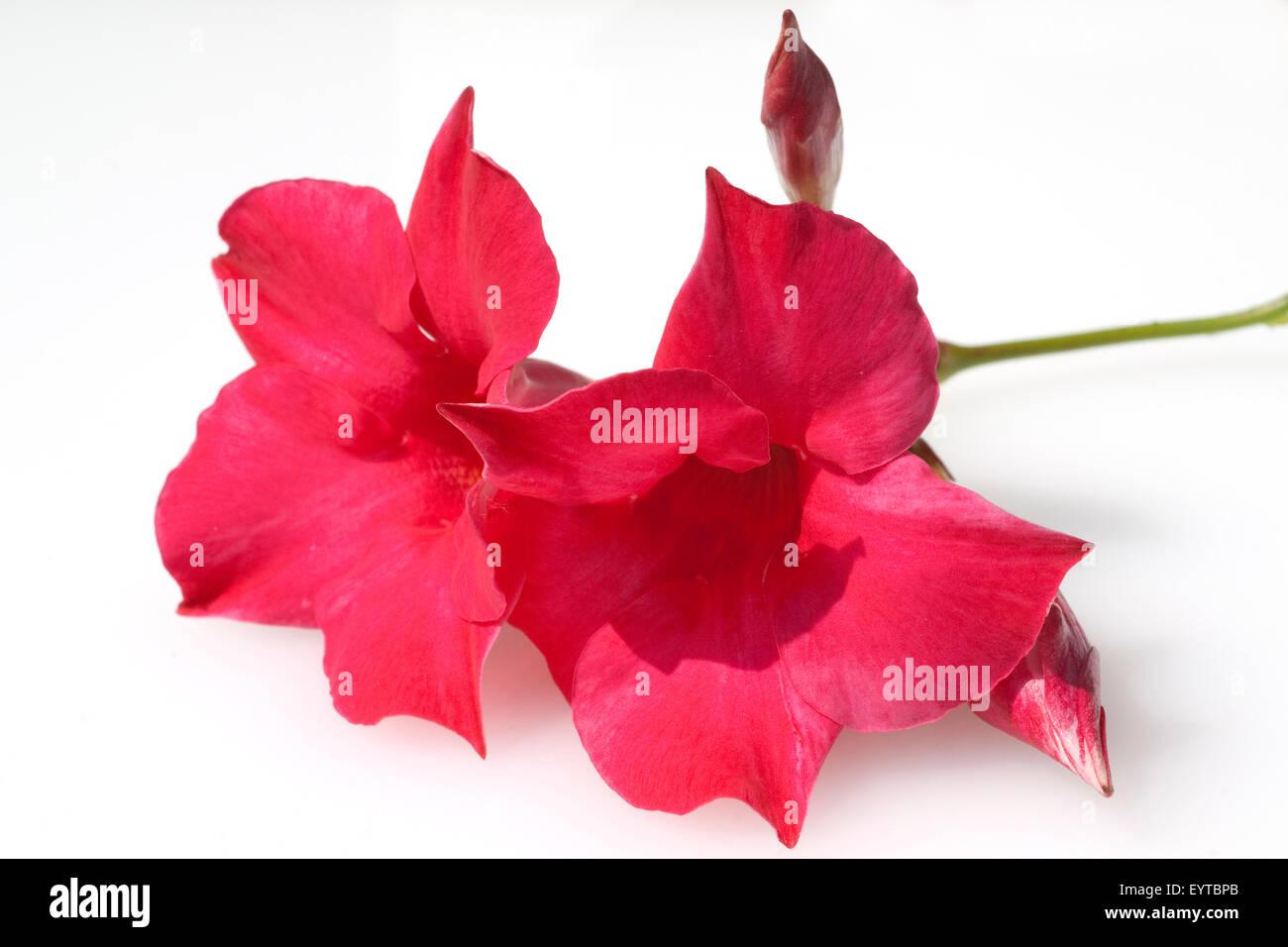 Dipladenia, Sanderi; Sundaville; Dark, Red; Stock Photo