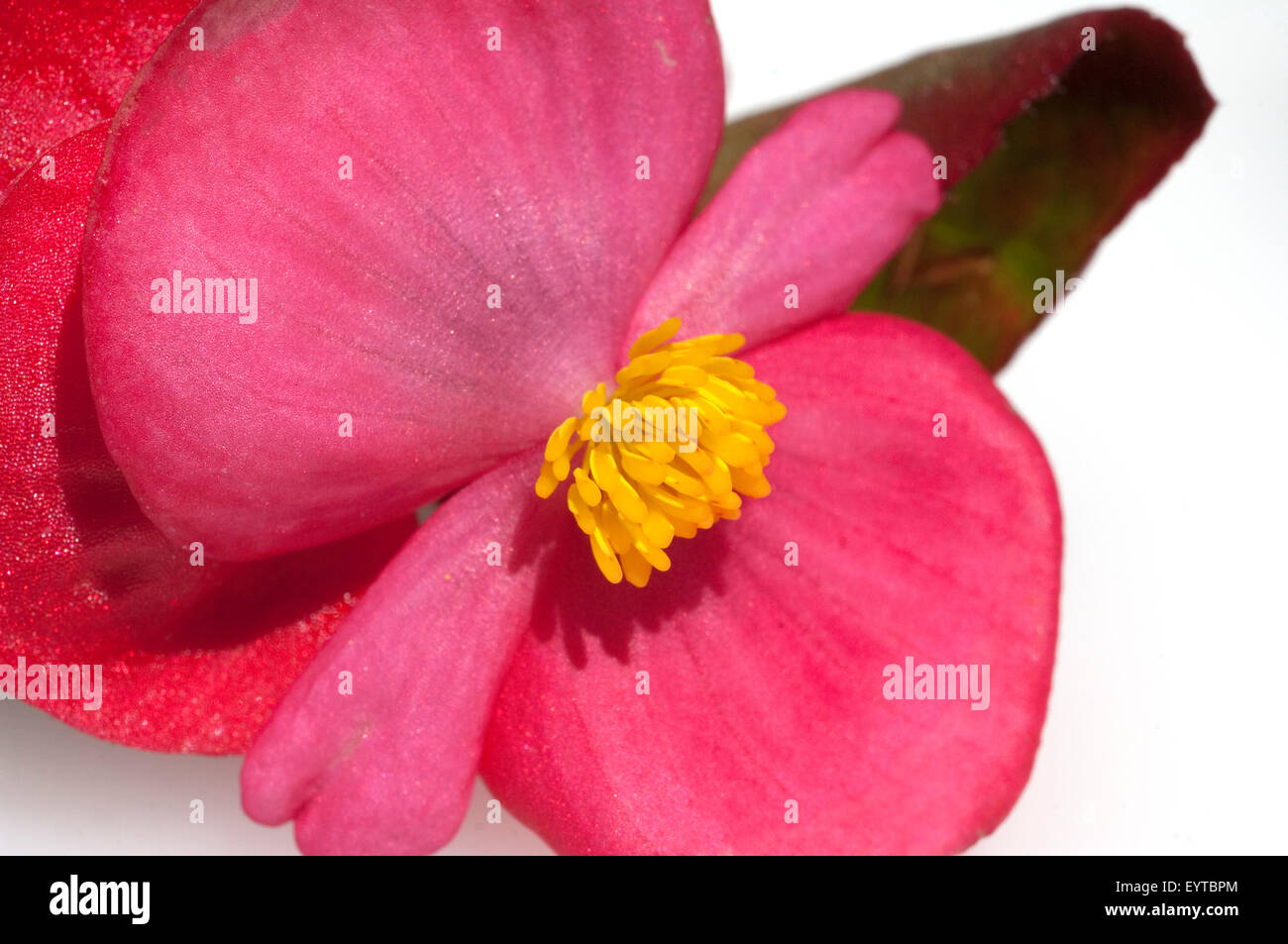 Begonie, Begonia, semperflorens, Balkonblumen, Stock Photo