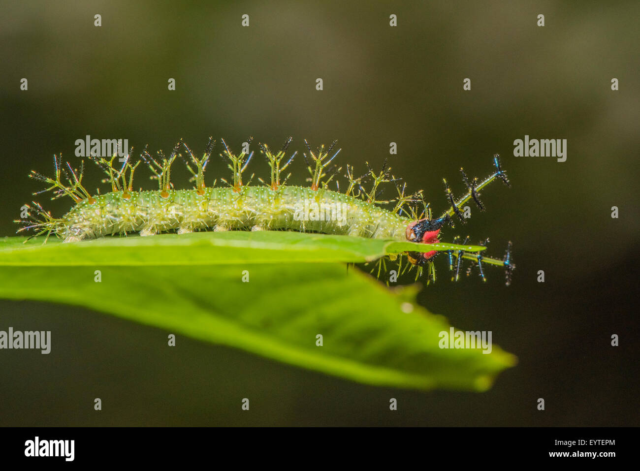 A larva of the Yellow-tufted Prepona butterfly Stock Photo