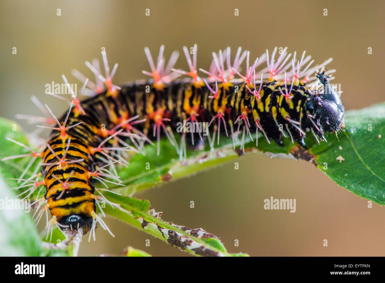 A caterpillar of the Sulphur butterfly species Stock Photo