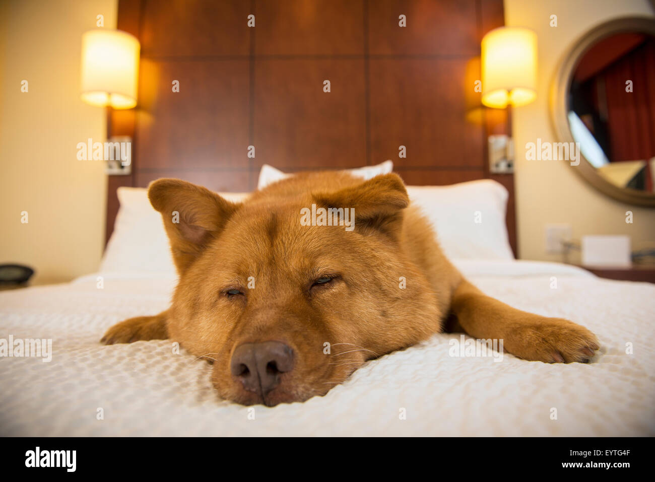 Dog half asleep on bed in hotel room - Stock Image