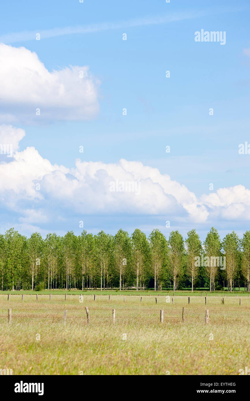 Pastureland in front of poplar wood - Stock Image
