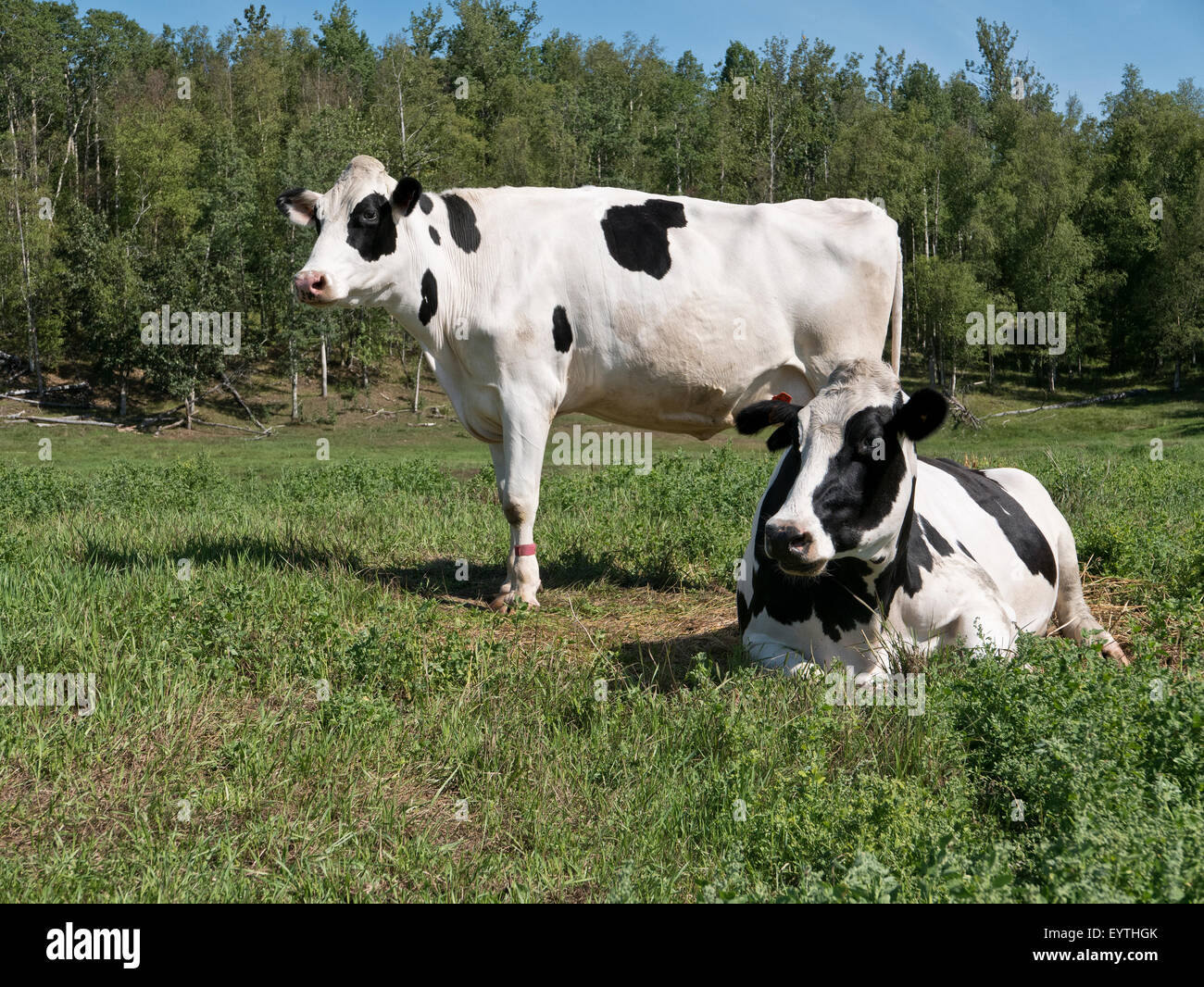 Two Holstein dairy cows in green pasture. - Stock Image