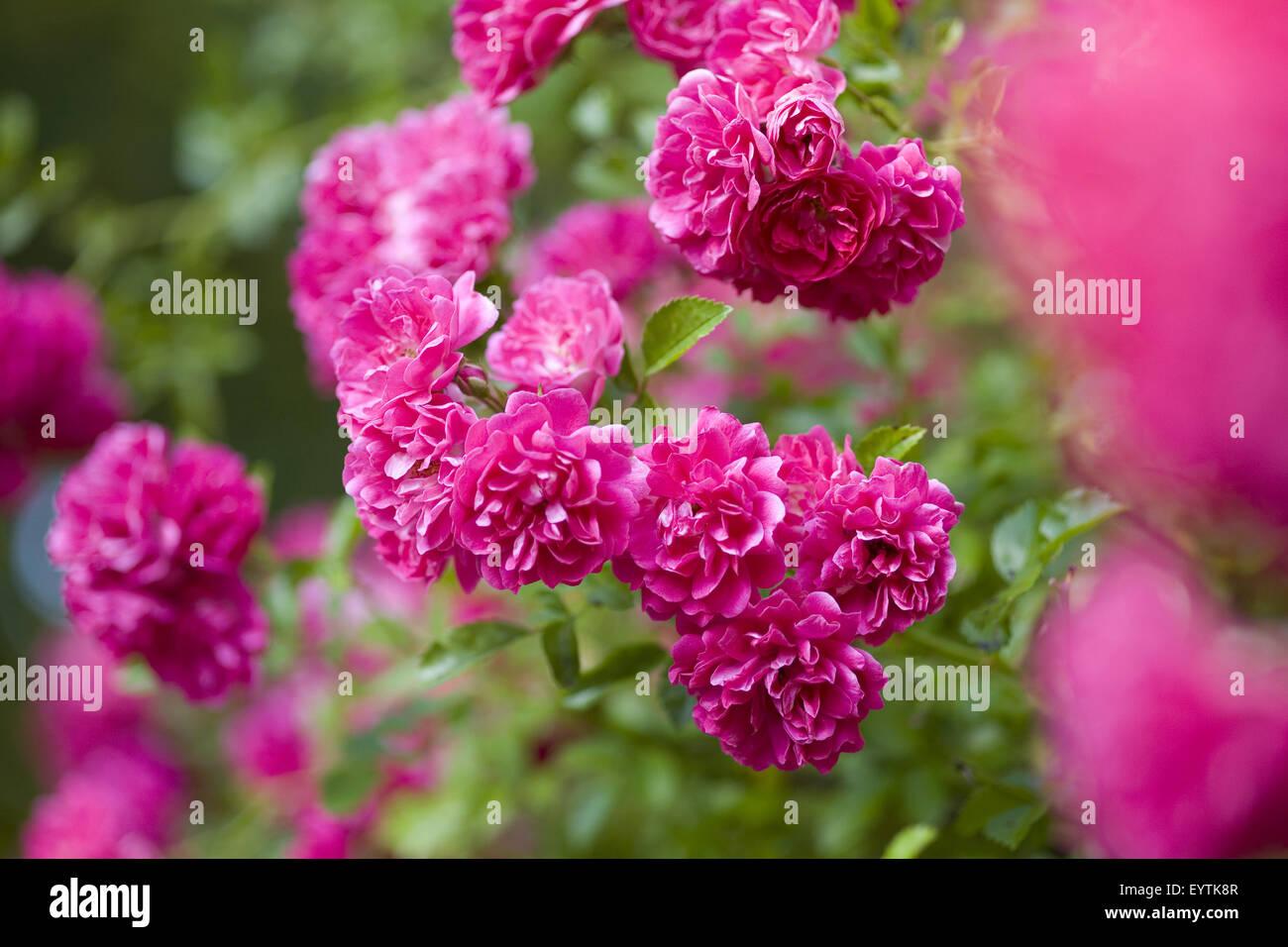 magenta coloured rosebush - Stock Image