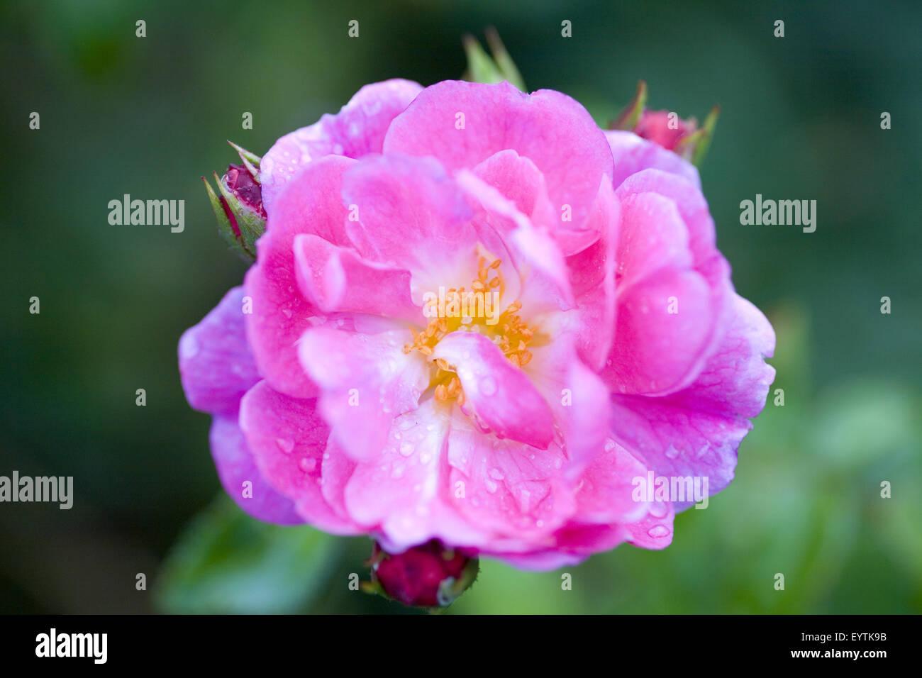 magenta coloured rose, close-up - Stock Image
