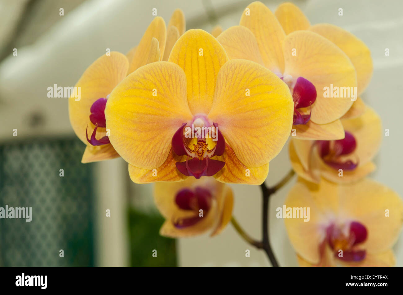 yellow phalaenopsis orchid stock photos yellow phalaenopsis orchid