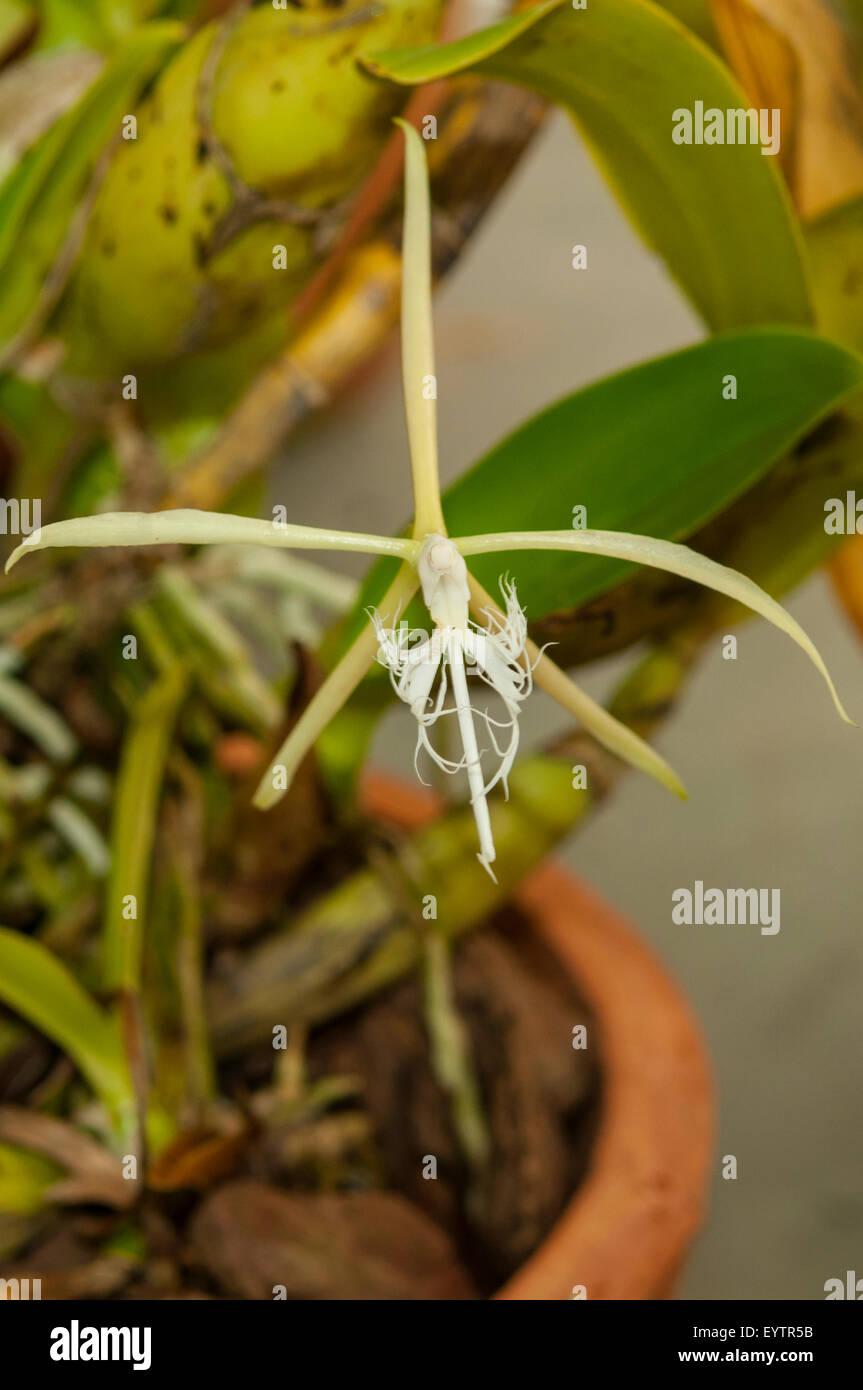 White egret flower stock photos white egret flower stock images habenaria radiata white egret orchid botanical gardens rio de janeiro brazil mightylinksfo