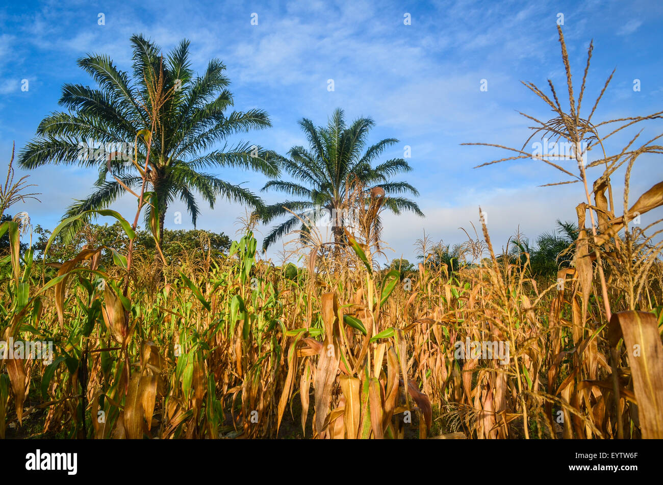 Corn (maize) fields in the Cuanza Sul province of Angola at sunrise, and palm trees in between - Stock Image