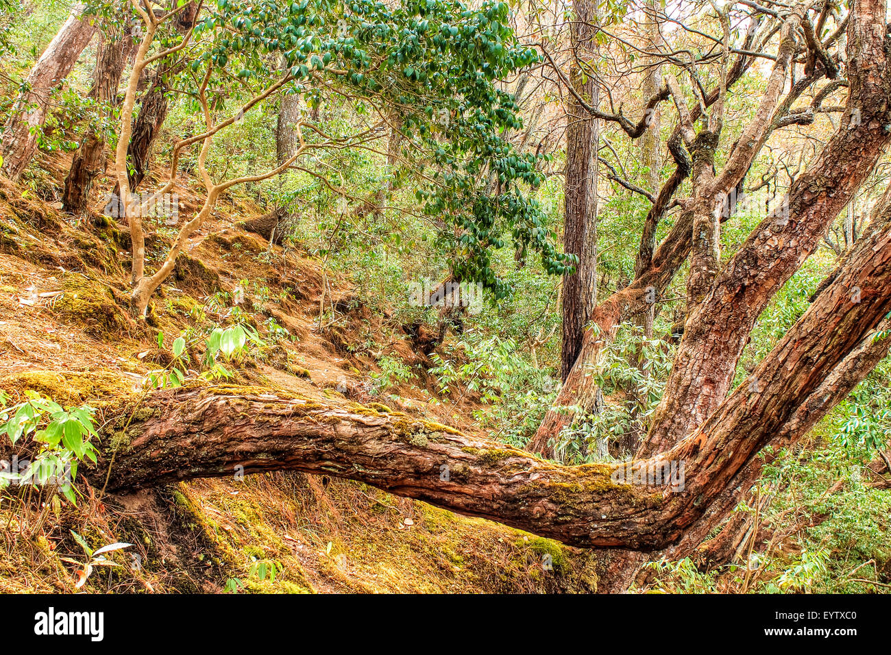 curved and disfigured tree in a rhododendron forest in Daman, Palung, Makawanpur district in Nepal - Stock Image