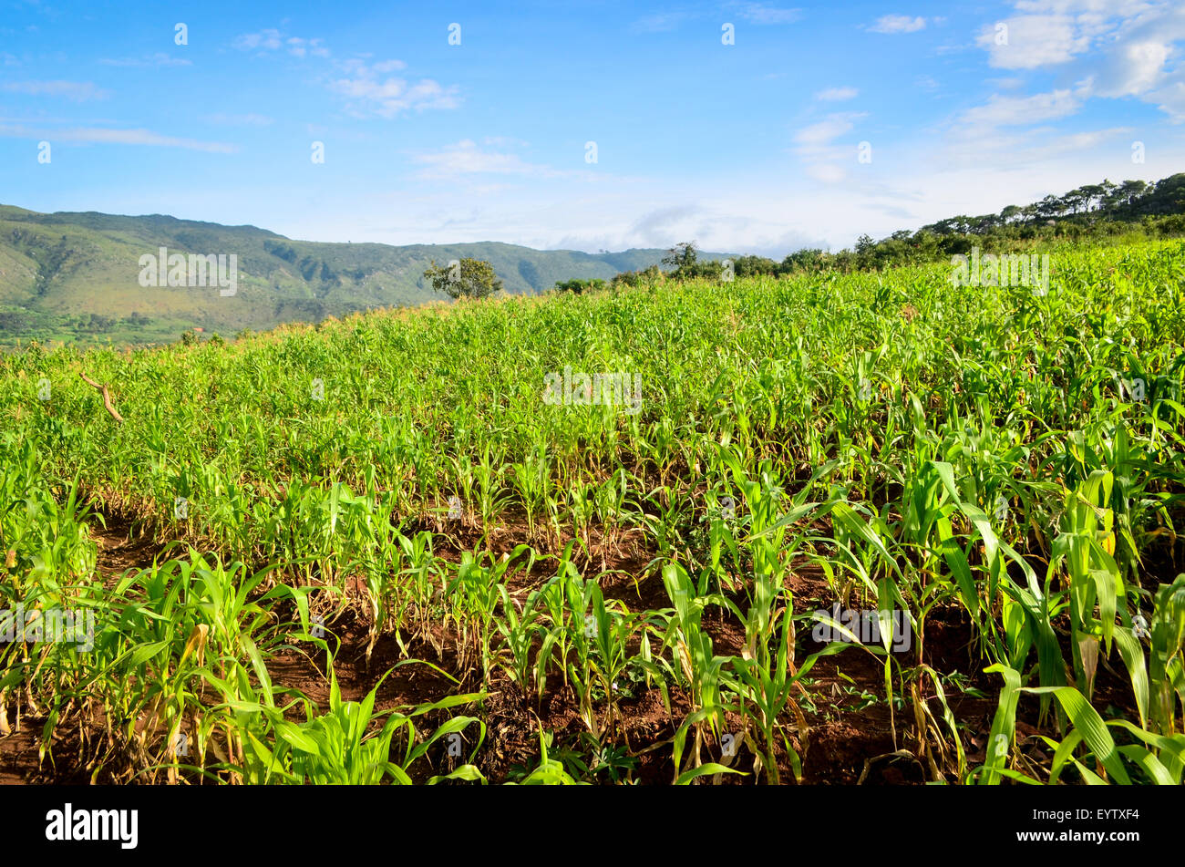 Crops of maize growing in Angola - Stock Image