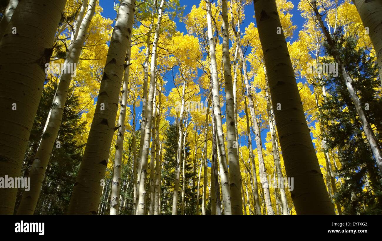 Aspen trees changing color - Stock Image