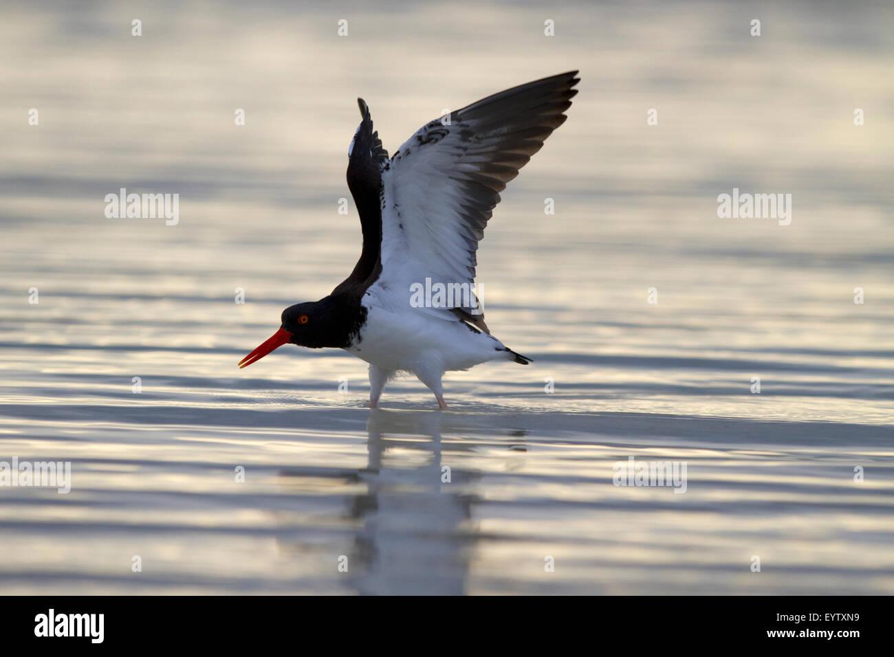 American Oyster Crusher Bird - Stock Image