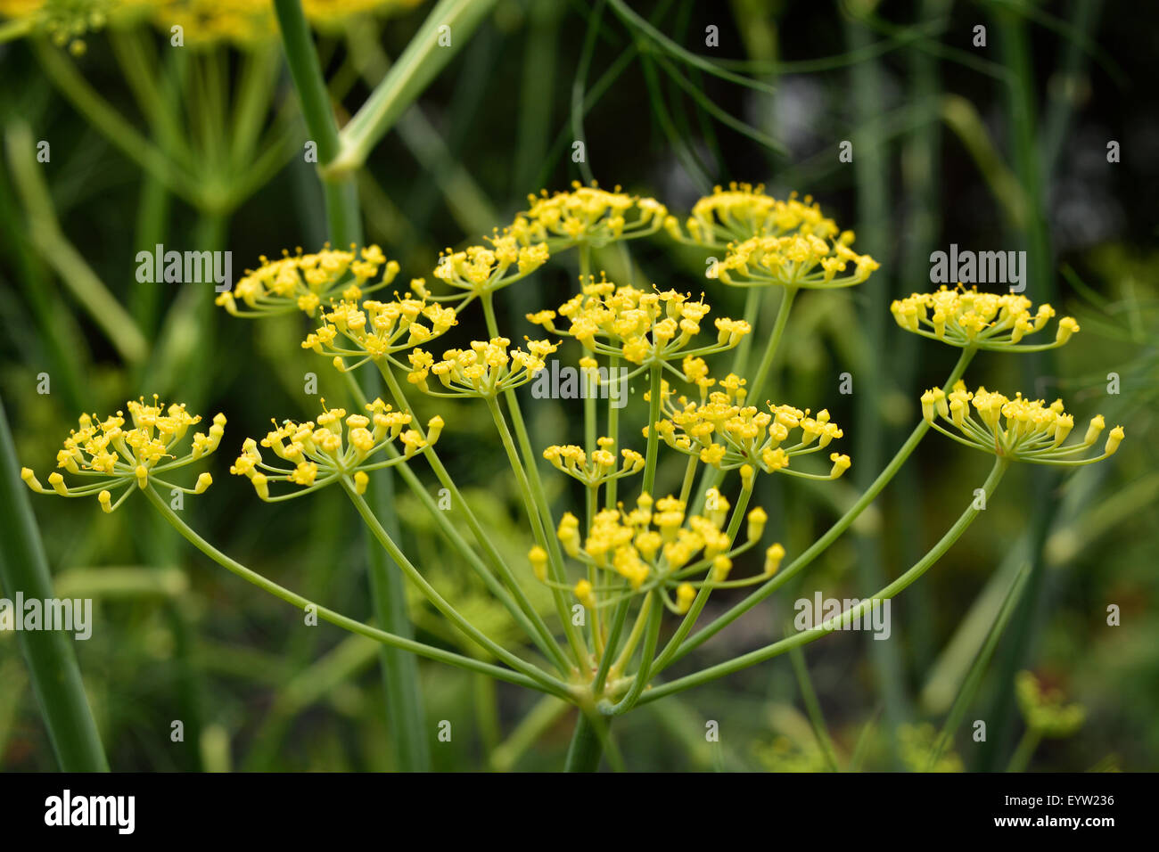 Close up of flowering Fennel (Foeniculum vulgare). Highly aromatic and flavourful herb. - Stock Image