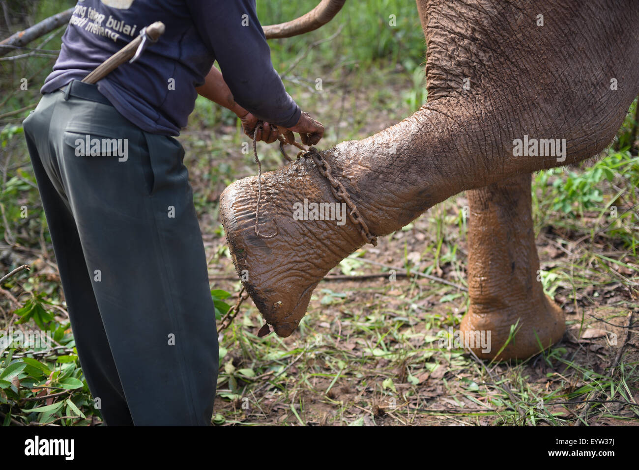 Mahout checking shackle chains on elephant feet. - Stock Image