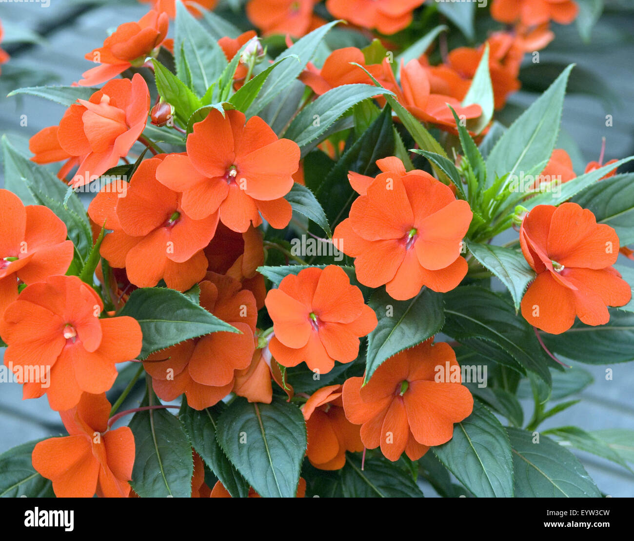 Impatiens-Neu-Guinea-Hybriden; Stock Photo