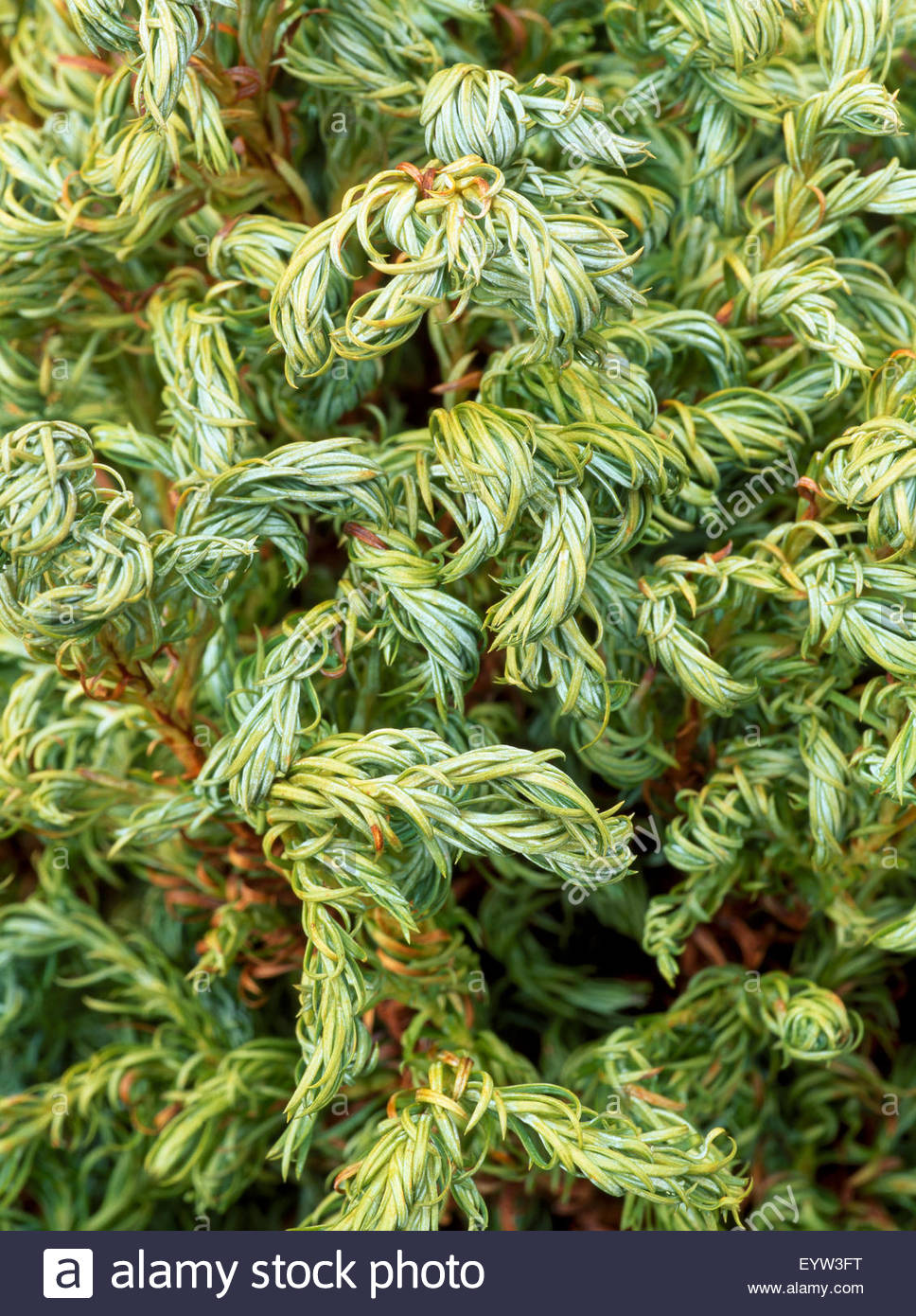 Chamaecyparis pisifera 'Curly Tops' - Stock Image