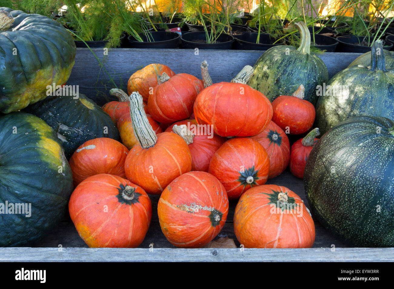 pumpkins for sale - Stock Image