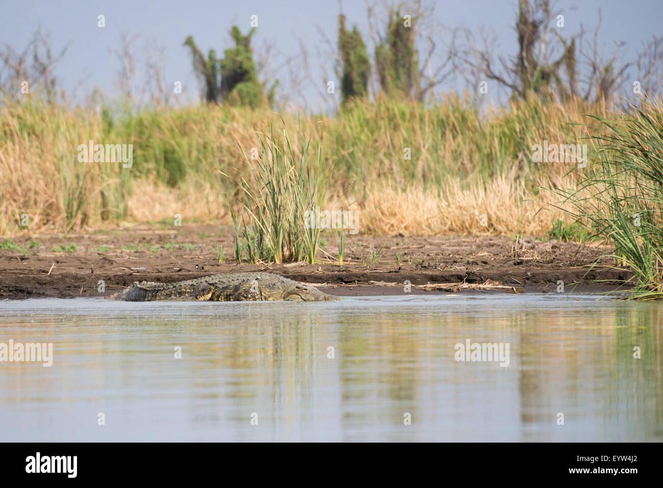 Nile crocodile (Crocodylus niloticus), Lake Chamo, Nechisar National Park, Ethiopia Stock Photo
