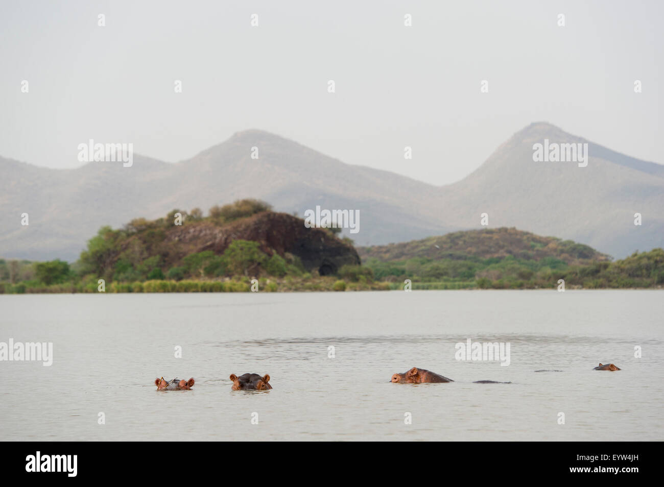 Common hippopotamus (Hippopotamus amphibius), Lake Chamo, Nechisar National Park, Ethiopia Stock Photo