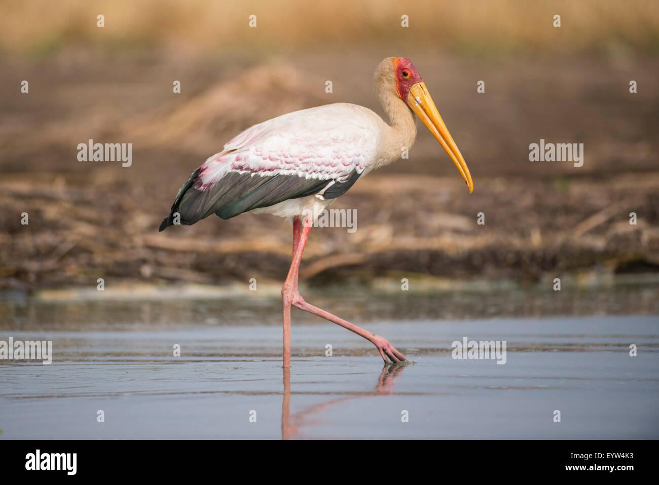 Yellow-billed stork (Mycteria ibis), Lake Chamo, Nechisar National Park, Ethiopia Stock Photo