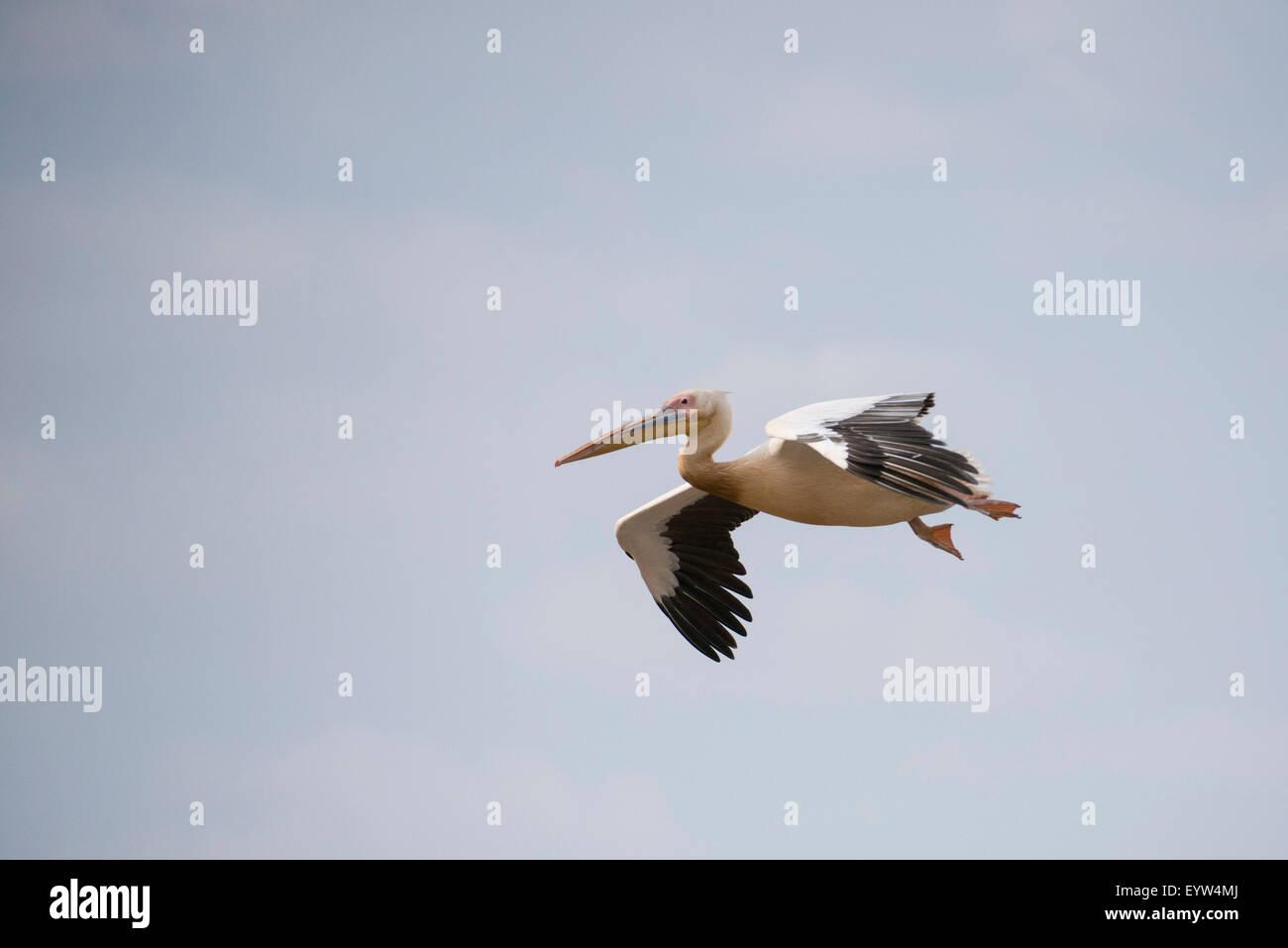 Great white pelicans (Pelecanus onocrotalus) , Lake Chamo, Nechisar National Park, Ethiopia Stock Photo