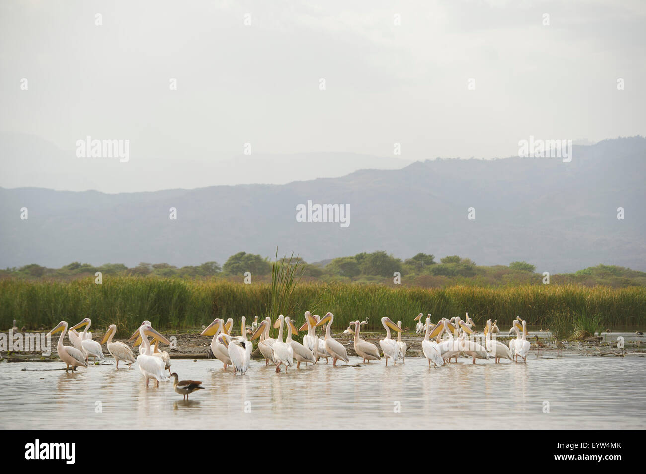 Great white pelicans (Pelecanus onocrotalus) , Lake Chamo, Nechisar National Park, Ethiopia Stock Photo