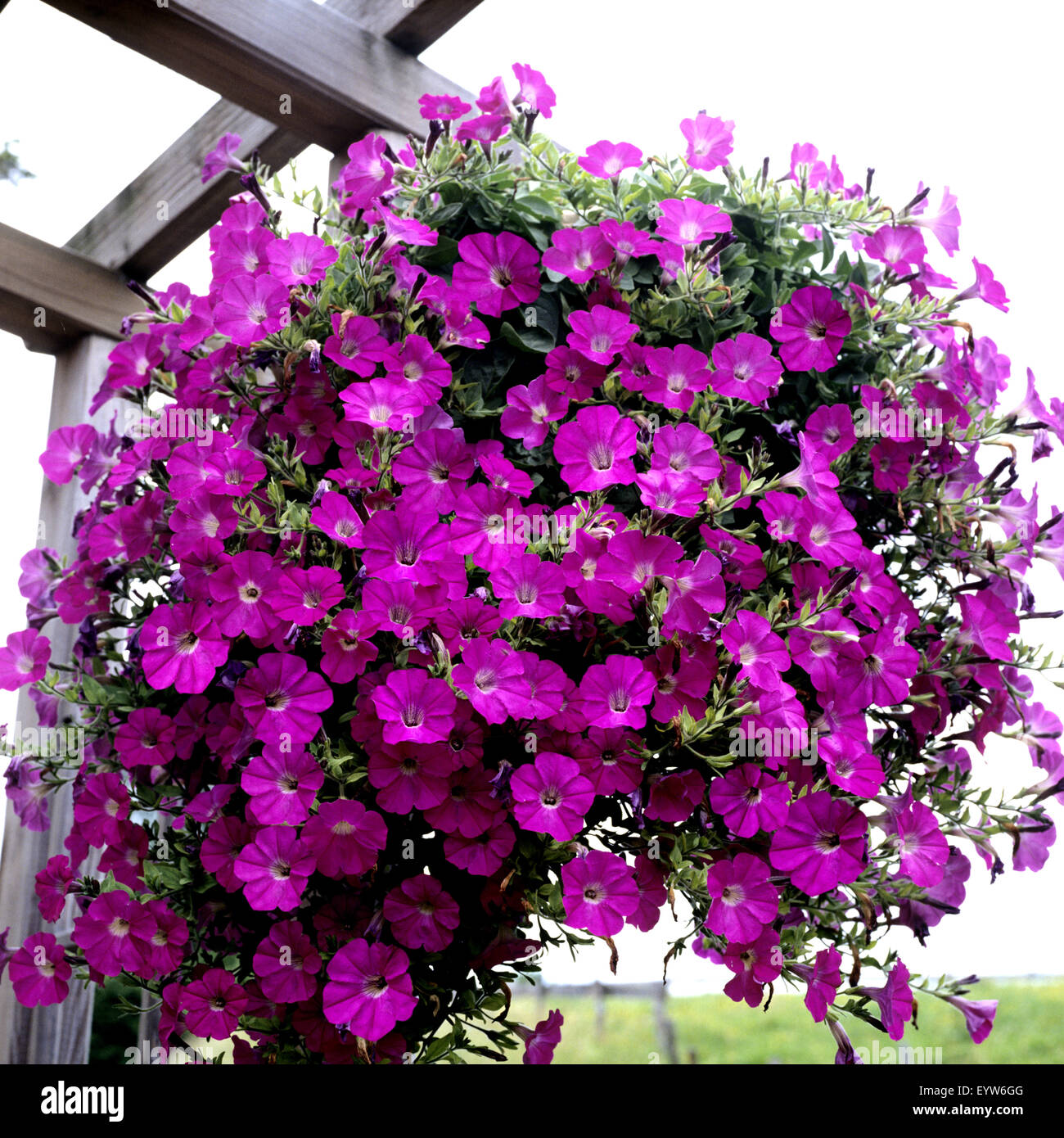Ampel petunia is one of the popular types of garden flowers 82
