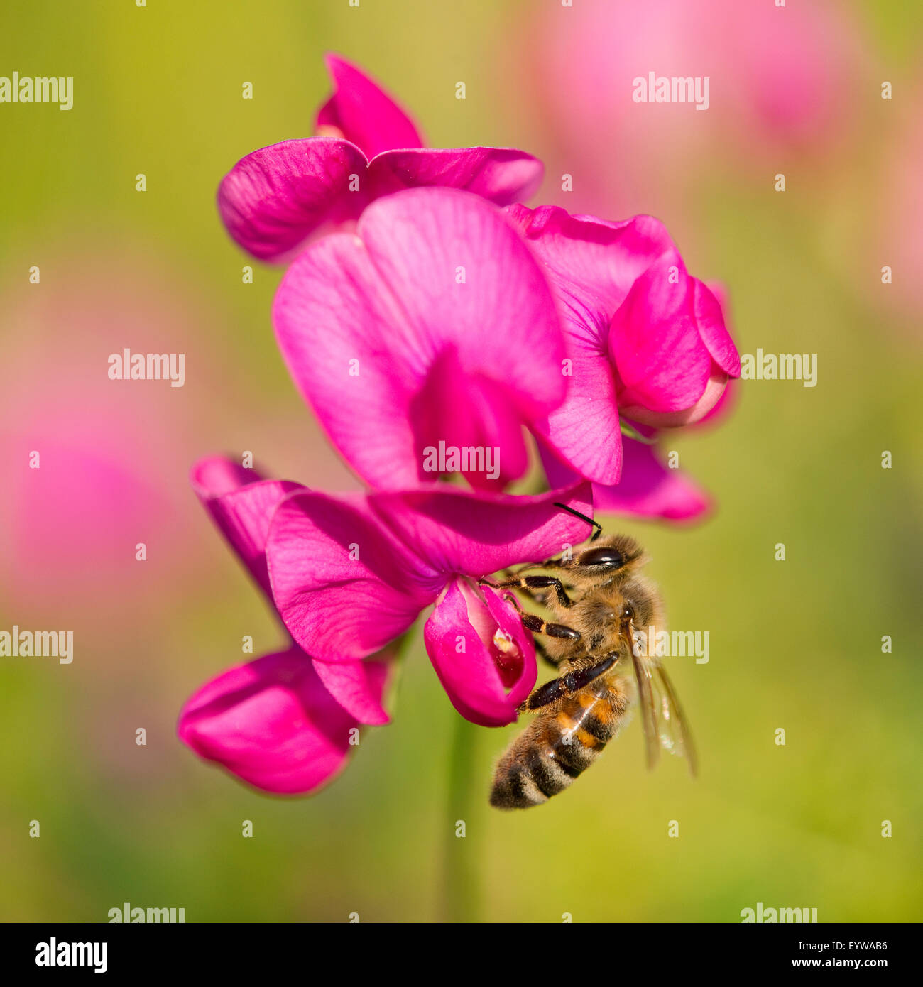 Western Honey Bee (Apis mellifera) on the flower of a Sweet Pea (Lathyrus sp.), Thuringia, Germany - Stock Image