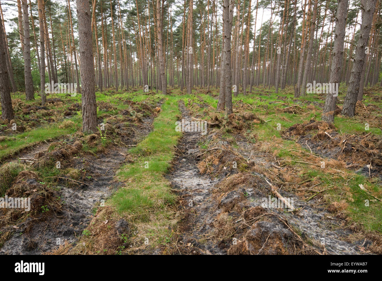 Soil preparation for natural regeneration, exposing the mineral soil in a pine forest, Pines (Pinus sylvestris), - Stock Image