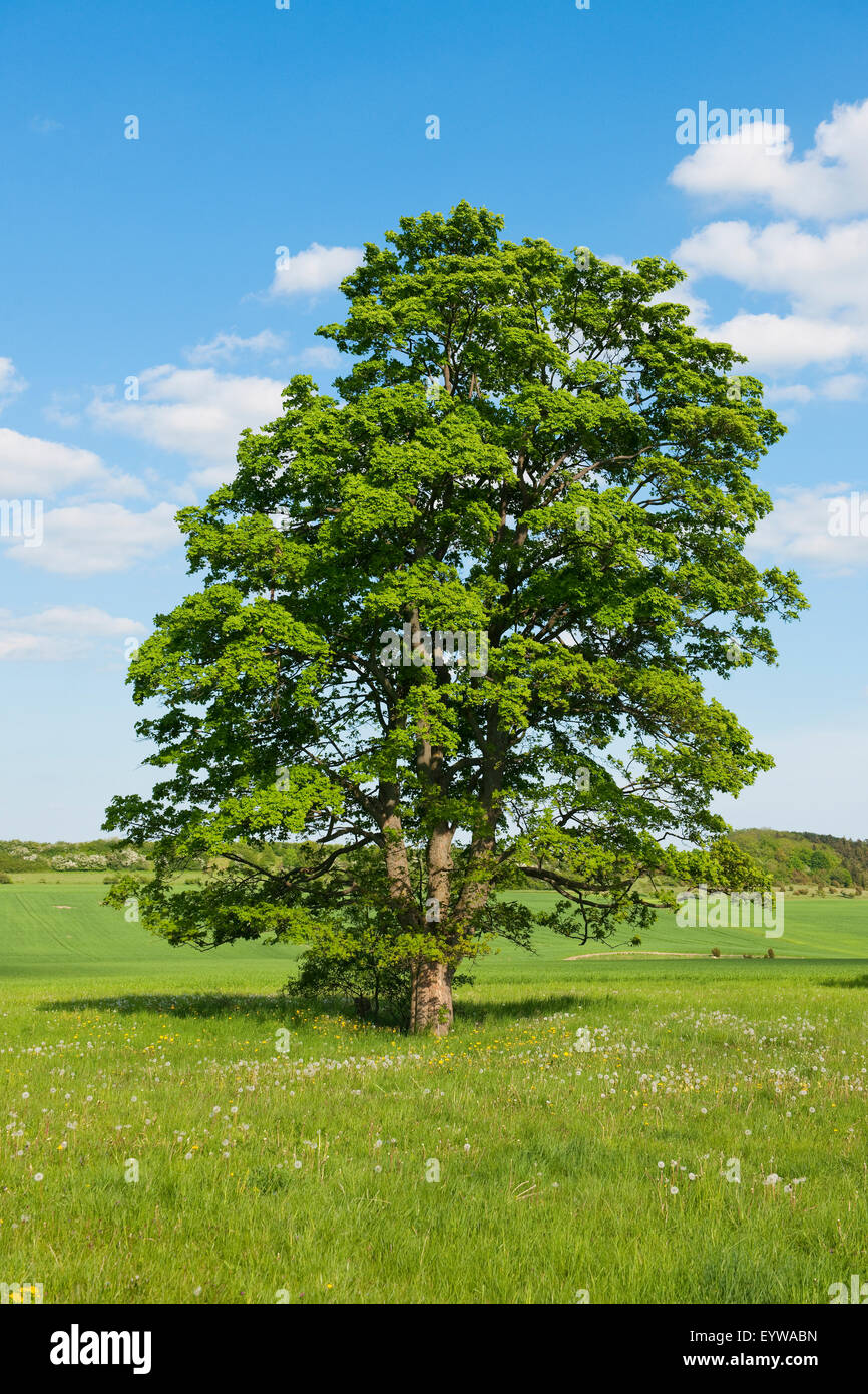Old Field Maple (Acer campestre), Thuringia, Germany - Stock Image
