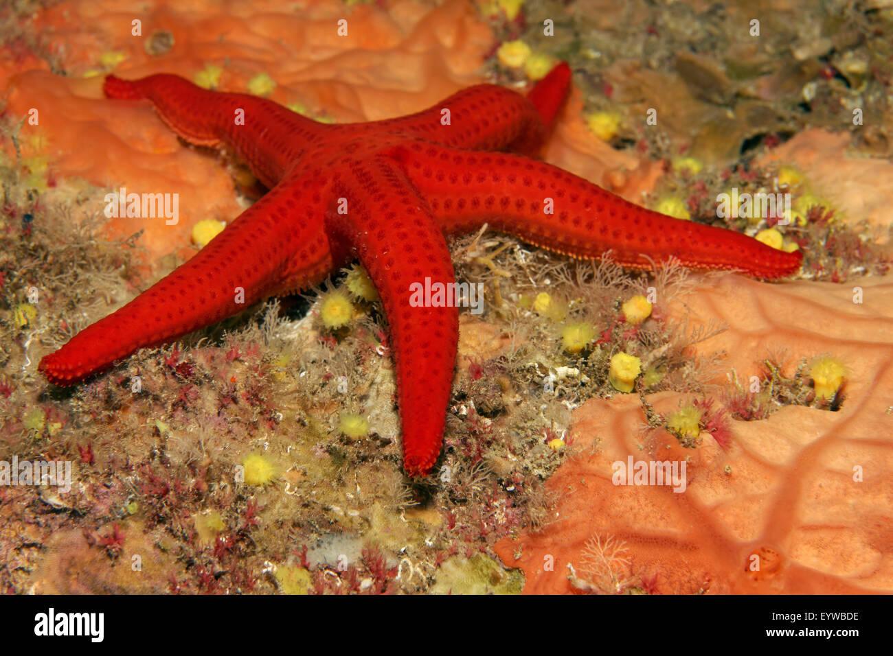 Smooth Starfish (Hacelia attenuata) on Encrusting orange sponge(Spirastrella cunctratrix), Corfu, Ionian Islands, - Stock Image